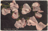 Flower Studies - Sweet Peas